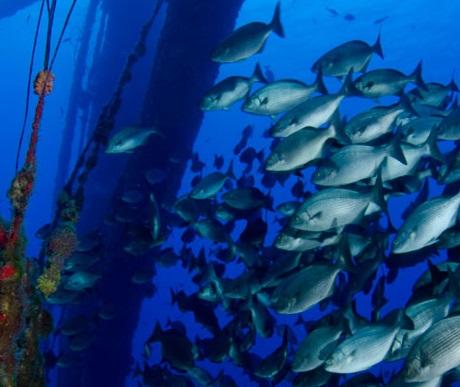Fish inhabit reefed oil platform.
