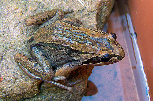 Brown Striped Frog, Image Creative Commons, Brenda Starr