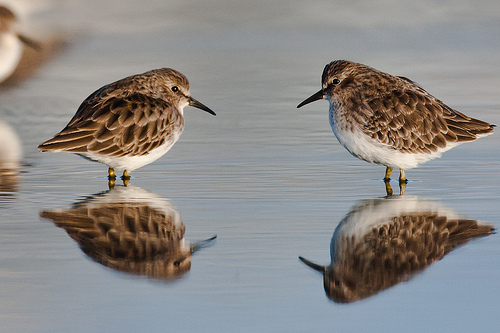 Two Least Sandpipers, Image Creative Commons, Mike Baird