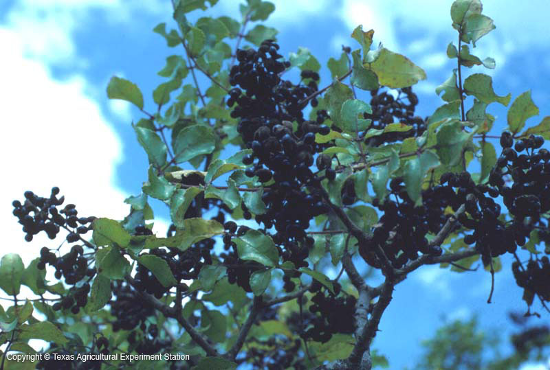 Wild Mustang Grapes, Image Aggie Horticulture