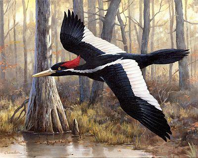Ivory-Billed Woodpecker, Image from www.ivory-bill-woodpecker.com