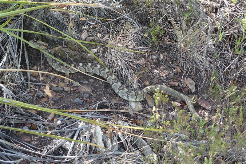 Snake in the grass at Big Bend Ranch State Park