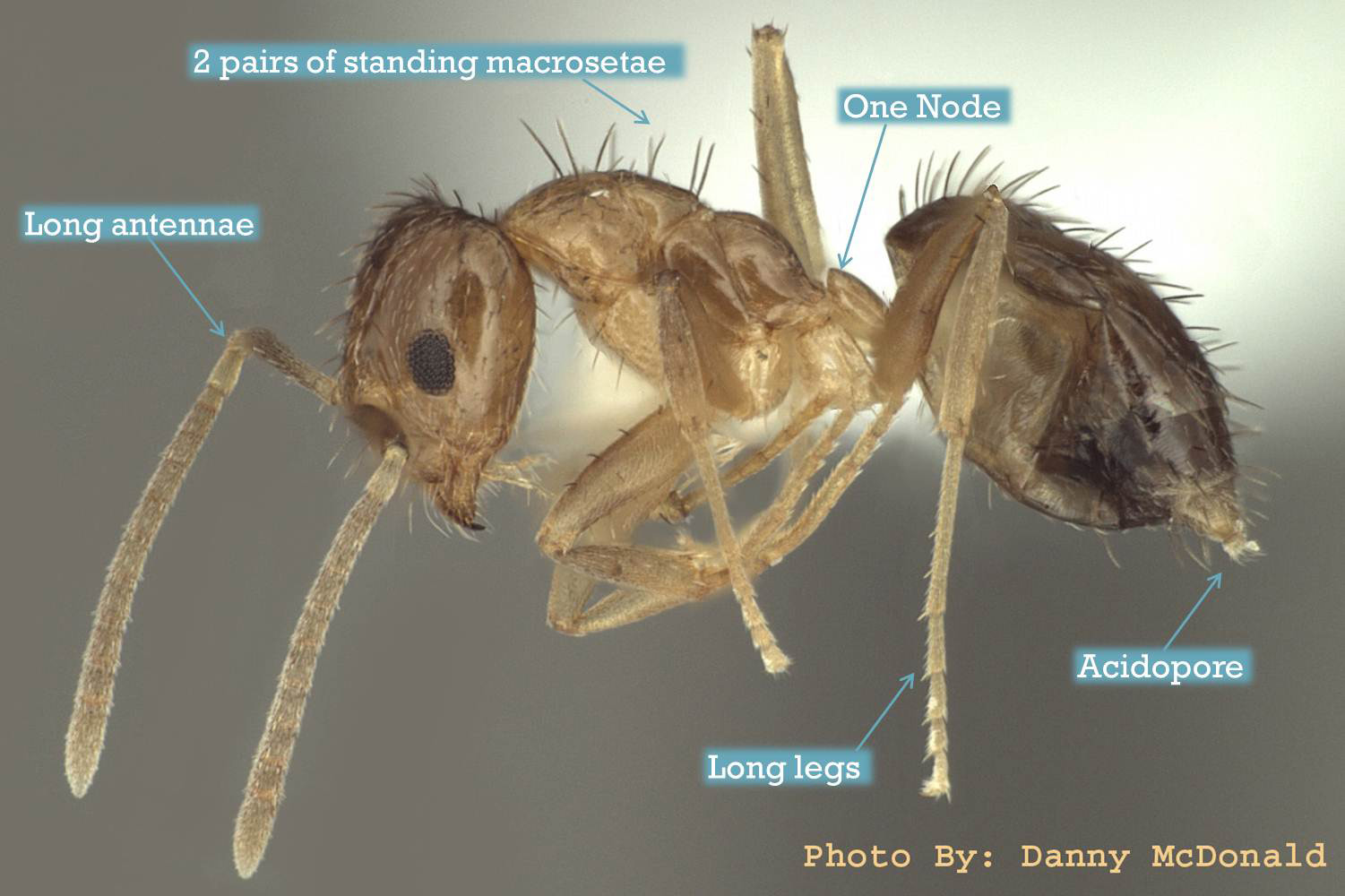 Tawny Crazy Ant ID, Image from Texas A&M University