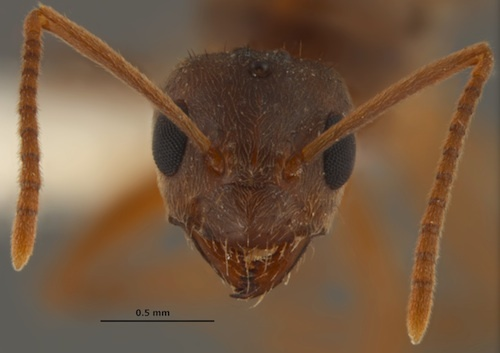 Tawny Crazy Ant, Image from www.livescience.com