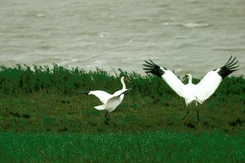 Pair of Whooping Cranes