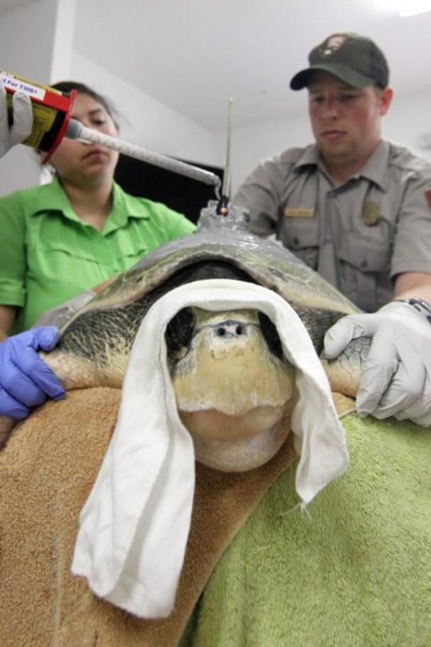 Sea turtle receiving GPS, Image courtesy Corpus Christi Caller Times