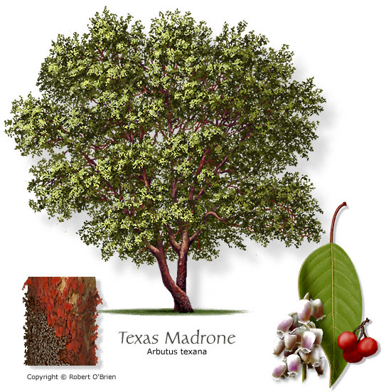 Texas Madrone, image from Aggi-Horticulture
