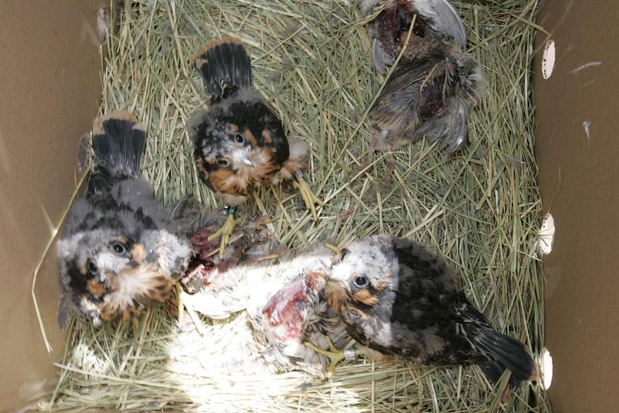 Baby aplomado falcons