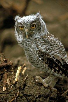 Eastern Screech Owl, Image TPWD
