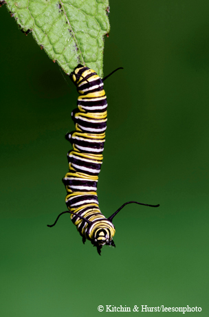 Monarch butterfly life cycle..4th Instar on Joe-Pye Weed.