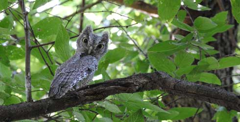 Eastern Screech Owl, image from Nature.org