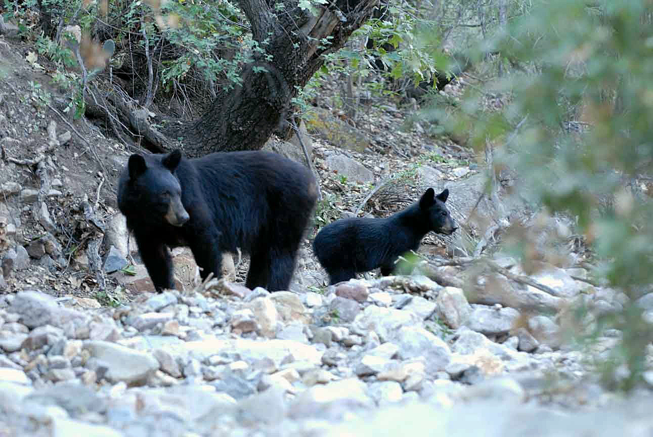 Mother Black Bear and cub in Big bend National Park.