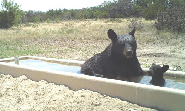 Black Bear Mother and cub enjoying a cool dip in a Hill Country water trough.
