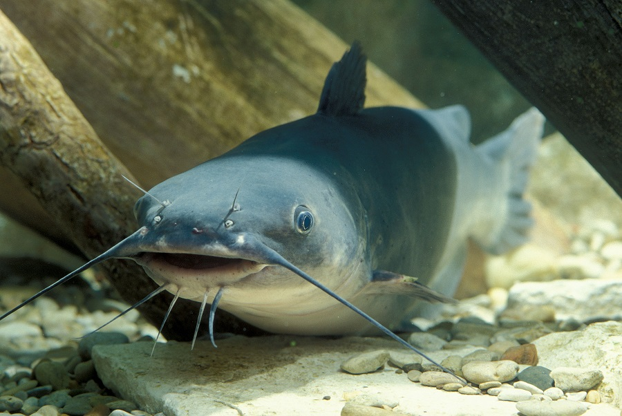 Blue catfish - a fighter and biter for those who