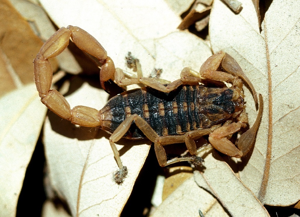 Scorpion on leaf litter.