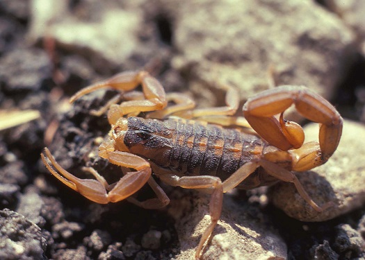 Scorpion in Texas