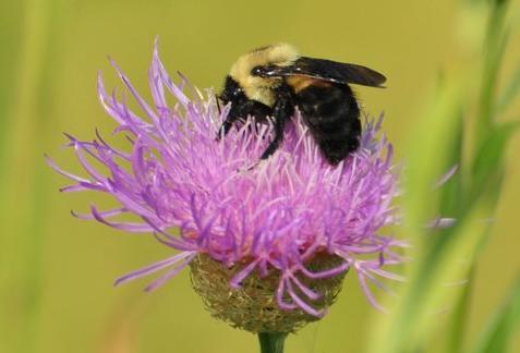 Texas Bumblebee, photo Jessica Womack