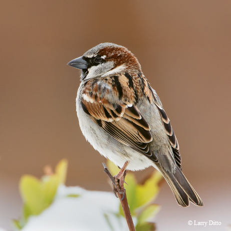 House Sparrow male sitting on snow-covered hedge, Texas