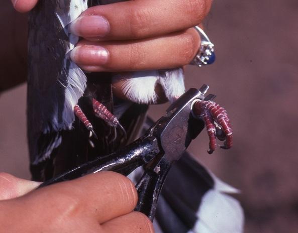 Banding a dove.