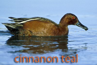 cinnamon-teal
