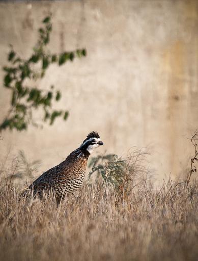 Bobwhite quail in Texas