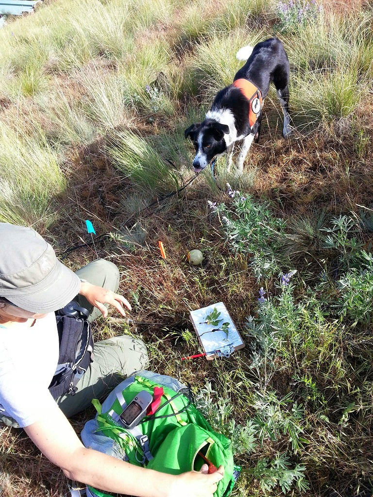 Dog finds invasive weed.