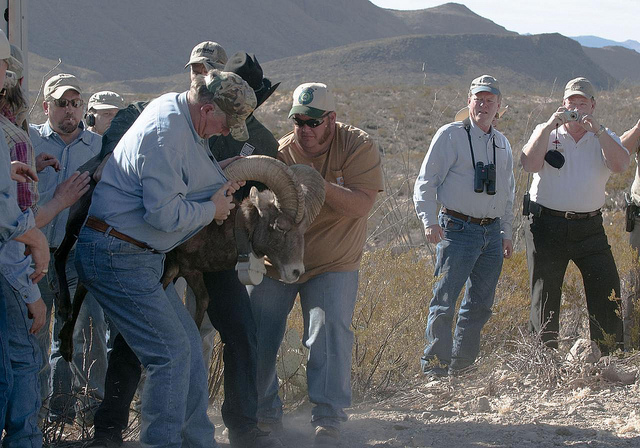 Wrestling with bighorn sheep