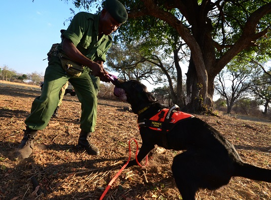 A scout from the South Luangwa Conservation Society, Godfrey Mwanza, and Steven (the black lab). Both are in training to stop ivory smuggling out of the Luangwa Valley of Zambia.