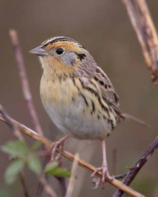 Le Conte's Sparrow,  image by Greg Lavaty, from www.audubon.org