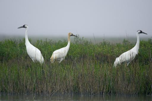 Whooping Cranes in Texas.