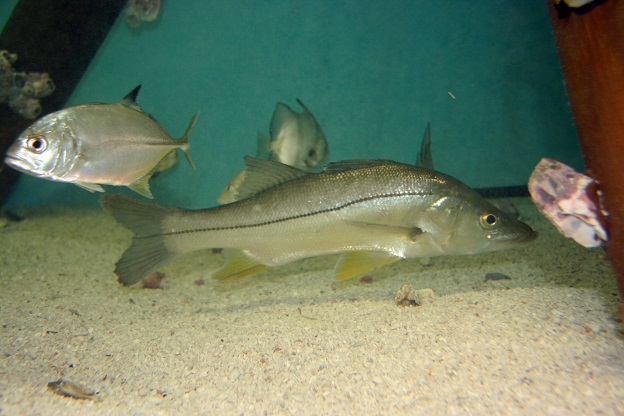 A fishable population of snook await anglers in the Texas Gulf.