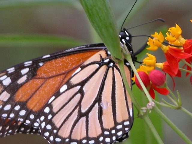 Monarch on milkweed plant.
