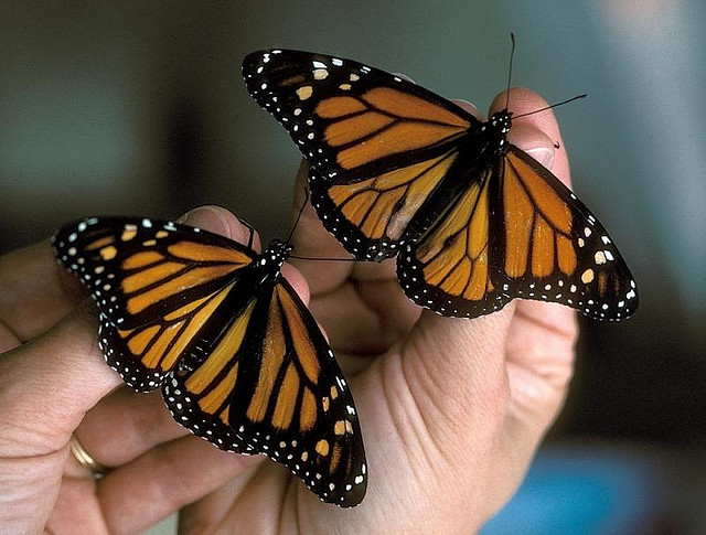 Monarch butterflies on hand.