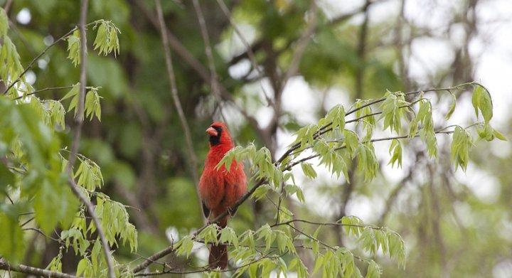 Cardinal in a backyard tree.