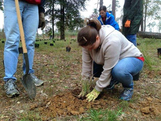Volunteer planting pine trees.