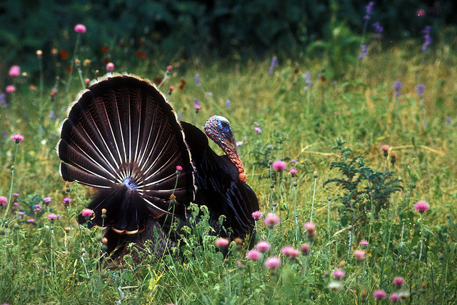 A fine looking turkey gobbler.