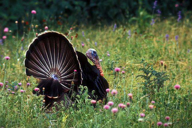 A fine looking turkey gobbler.