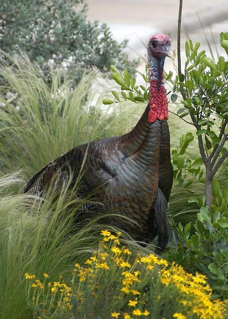 A turkey amid the spring growth.