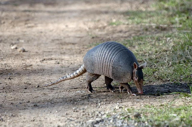 Nine-banded Armadillo crossing road.