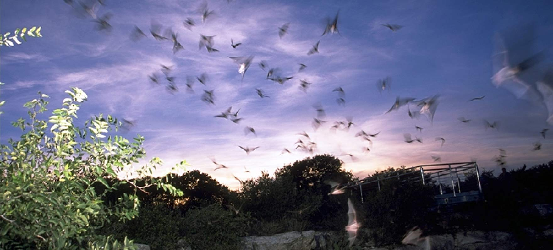 Mexican free-tailed bats emerging from Devil's Sinkhole.