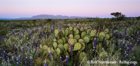 Desert in bloom with Big Bend Bluebonnet and Prickly pear cactus