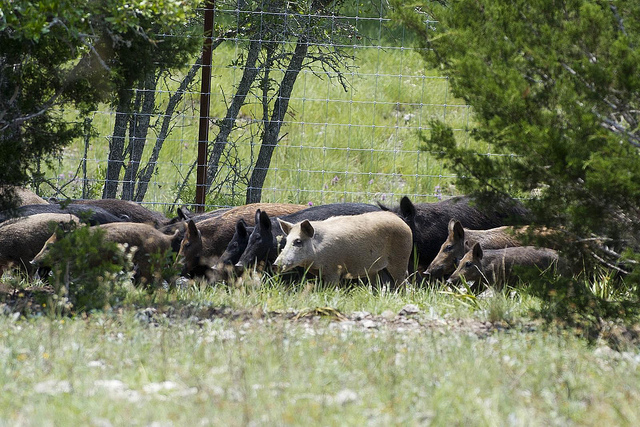 Feral Hogs at the Kerry Wildlife Management Area