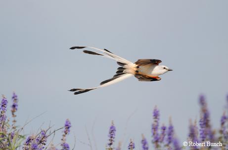 Scissor-tailed flycatcher; photo by Robert Bunch