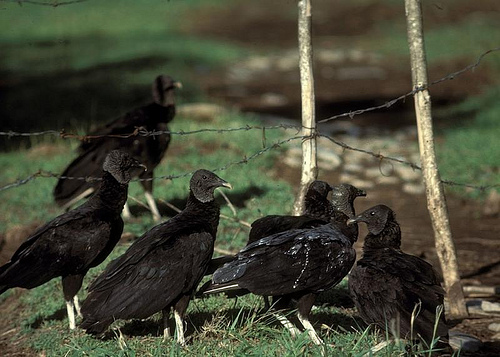 Black vultures shown use their sense of sight to find their meals, whereas turkey vultures use their sense of smell.