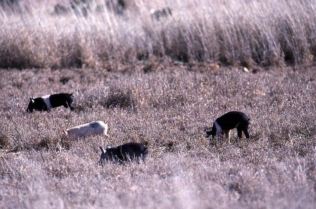Herd of feral hogs.