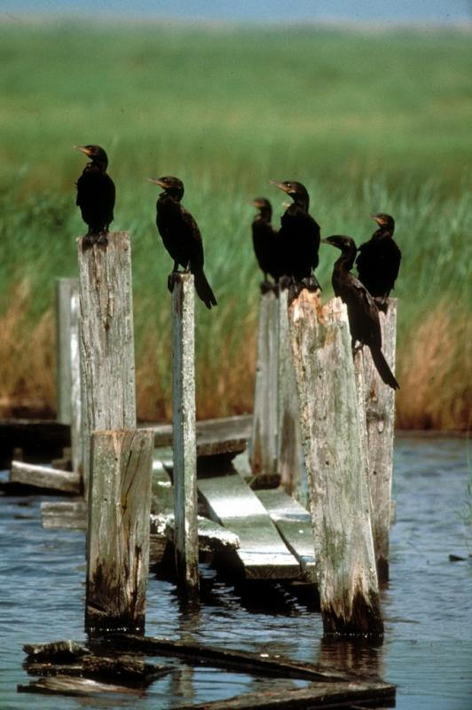 Cormorants waiting around to steal your fish. Not really.
