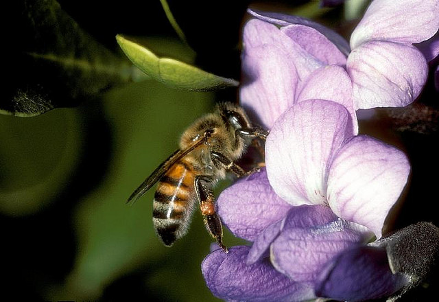 Well-known, and important, pollinator: the European Honeybee