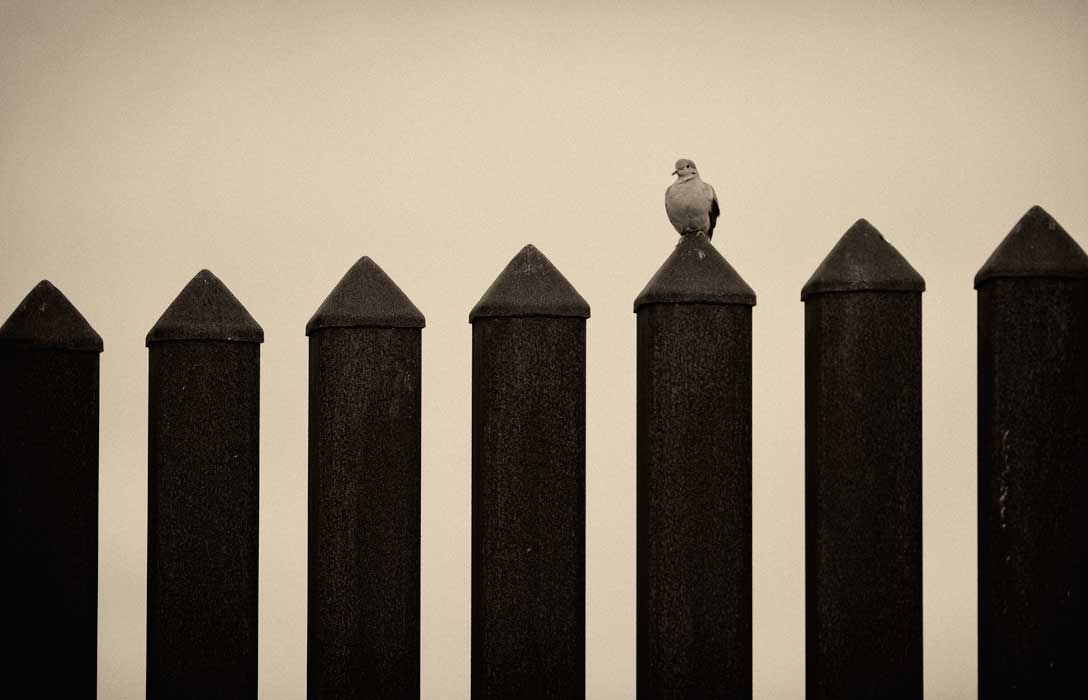A mourning dove sits atop the iron posts of the Texas-Mexico border fence near Brownsville, tX