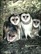 Baby owls in a nest box.