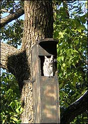 Screech Owl in a nest box hanging on tree.